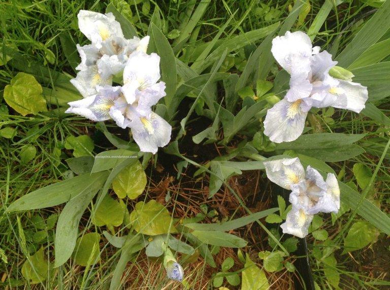 Iris azul 2014 (1a)